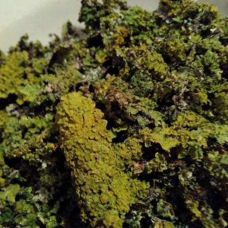 Lichen.jpg